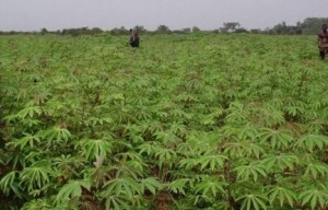 Parc à bois de manioc à Bolobo