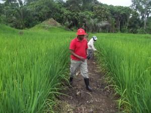 Champ communautaire de multiplication du riz