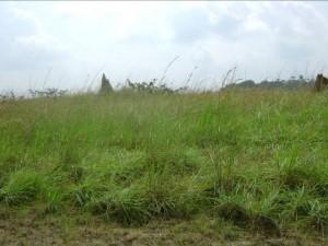Emprise de la piste d'atterrissage de Ipope envahie d'herbes et termitières avant l'intervention